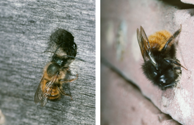 wildbienen biodivers. Black Bedroom Furniture Sets. Home Design Ideas